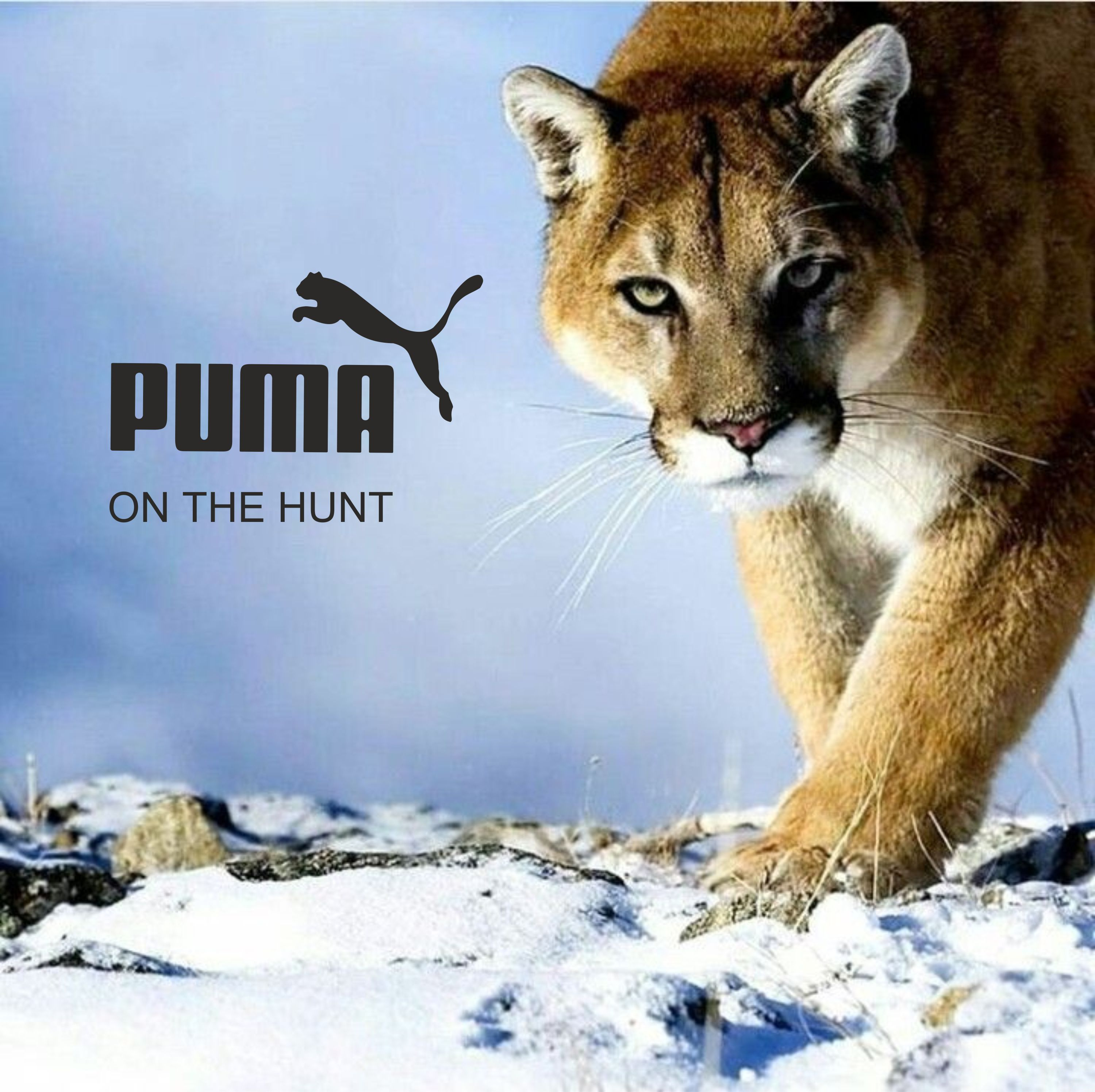 Puma on the hunt